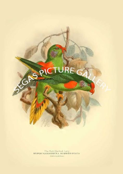 Fine art print of the Red-marked Lory - Hypocharmosyna rubronotata by St George Mivart (1896)